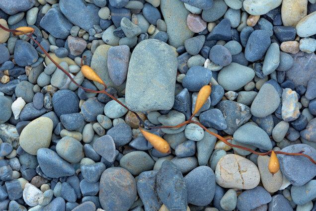 Kelp remains on rocks, Western Tasmania