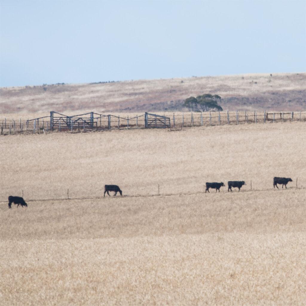 Five cows near Bacchus Marsh