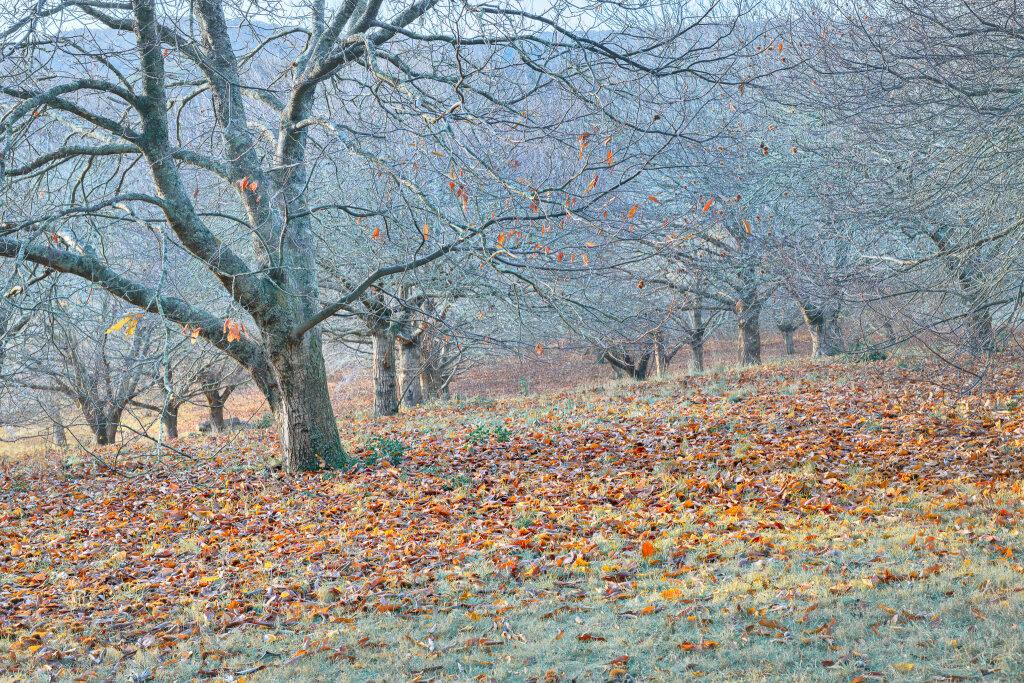 Chestnut Trees III