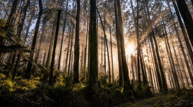 Black Spur Rays, Victoria
