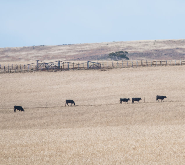 Five cows near Bacchus Marsh