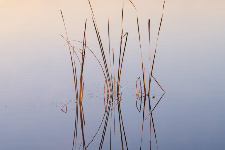 Reeds in a dam, Victoria, Australia
