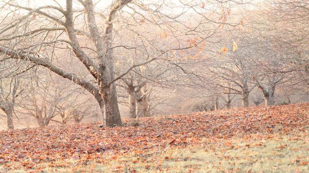 Chestnut Trees, Macedon, Victoria