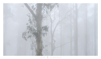 Mountain Ash, Black Spur, Victoria