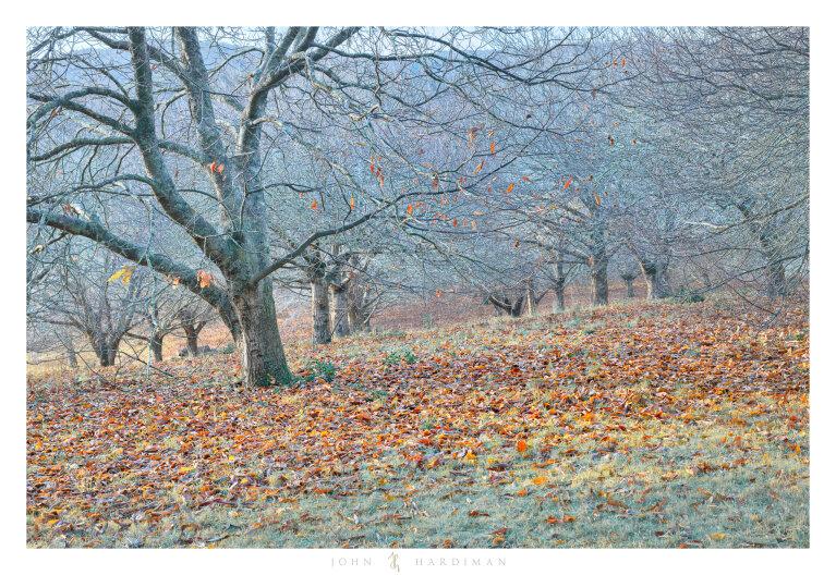 Chestnut Trees III, Macedon, Victoria